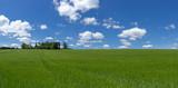 Großes Feld mit junger Gerste - Panorama - 233907175