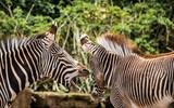 zebra scream zoo © SVEN
