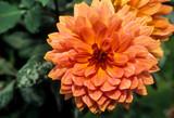 Dahlia, variété Melba - 233926916