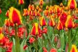 Background of bright red and yellow tulips with vivid green leaves on a spring meadow © Сергей Илюхин