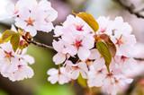 Close-up of fresh blooming Sakura in spring - 233927791