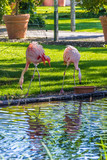 Beautiful flamingos standing by the water with reflections
