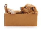 Brown puppy in a box. © voren1