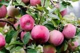 Close up of a beautiful juicy McIntosh apple