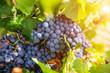 Leinwanddruck Bild - Grapes close-up in a vineyard, La Rioja, Spain