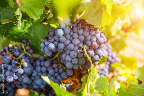 Leinwanddruck Bild Grapes close-up in a vineyard, La Rioja, Spain