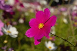 Pink cosmos flowers in the garden © F.F.YSTW