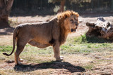 old lion © Dziurek