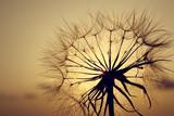 Dandelion silhouette in sunset light, summertime outdoor theme © e_polischuk