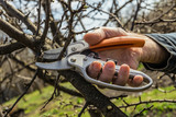 Pruning garden trees with scissors. Shears in arm. - 234034515