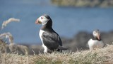 Stock video  Puffins on Longa Island - Scotland - Close shot in slow motion - 234045998