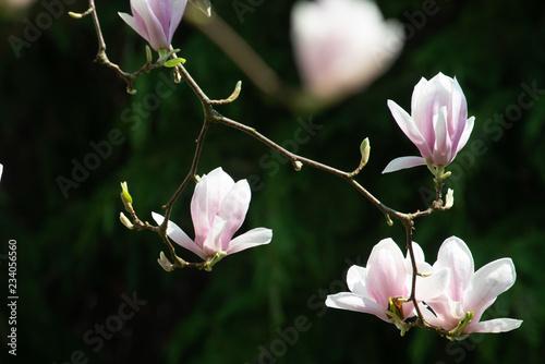 fototapeta na ścianę pink flowers