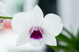 Close Up beautiful Purple and White Orchids flower blooming in orchid garden, Nature Background © eakstocker