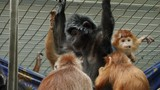 A Javan lutung monkey sits with arms raised, holding top of cage, while another grooms its fur. Several other lutung monkeys sit around them. - 234069180