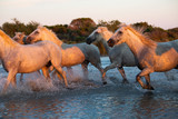 White Wild Horses of Camargue running on water at sunset, Aigue Mortes, France © ronnybas