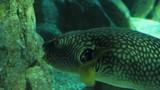Arothron fish floats in aquarium. - 234090386