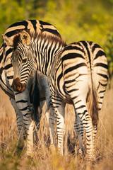 Zèbres du Kruger