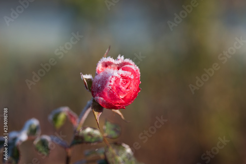 Roses draped with frost