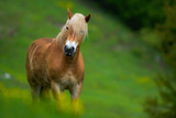 Cavallo al pascolo su prato verde, sguardo - 234104377