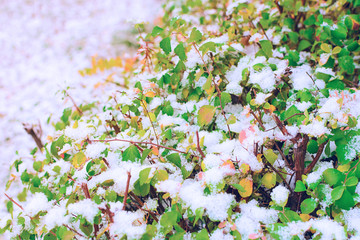 The bushes with yellow, red and green leaves are seasoned with the snow