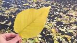 Autumn Big yellow leaf in hand fall november. - 234148331
