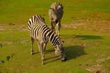 zebra in africa © tselykh