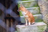 A red wolf fox sits on a rock in a zoo through a trellis bokeh