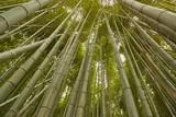 Fototapeta Bambus - Tall Bamboo Plants © Gudellaphoto