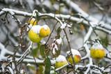 Jabłka na jabłoni przykryte przez wczesny śnieg