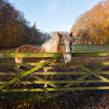 brown horse with white manes in forest meadow during autumn © ahavelaar