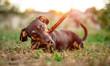 Leinwandbild Motiv Playful black-brown dachshund nibbling a stick