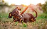 Playful black-brown dachshund nibbling a stick © Alex Green