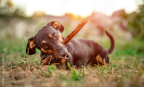 Leinwanddruck Bild Playful black-brown dachshund nibbling a stick