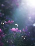 光に照らされる紫色のコスモス © Ken_Tomono