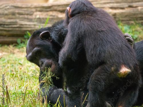 Obraz na płótnie Chimpanzé