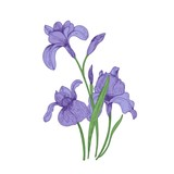 Detailed drawing of spring iris flowers and buds. Seasonal beautiful garden flowering plant isolated on white background. Natural hand drawn realistic vector illustration in elegant vintage style.