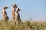 erdmännchen passen auf fressfeinde auf und halten als familie zusammen ausschau