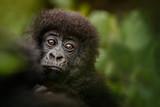 Wild mountain gorilla in the nature habitat. Very rare and endangered animal close up. African wildlife.Big and charismatic creature. Mountain gorillas. Gorilla beringei beringei. - 234286128