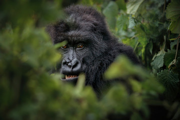 Wild mountain gorilla in the nature habitat. Very rare and endangered animal close up. African wildlife.Big and charismatic creature. Mountain gorillas. Gorilla beringei beringei.