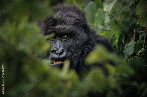 Plakat Wild mountain gorilla in the nature habitat. Very rare and endangered animal close up. African wildlife.Big and charismatic creature. Mountain gorillas. Gorilla beringei beringei.