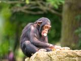 Bébé chimpanzé - 234288391