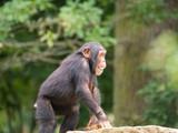 Bébé chimpanzé - 234288925