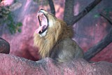 Lion Yawning in The Zoo