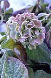Flower hydrangea in winter