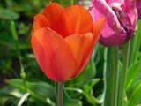 Tulip © Helen