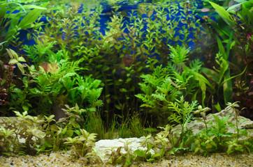 Planted in aquarium