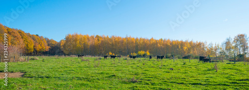 Herd of cows in a green meadow on a hill in sunlight at fall - 234325999