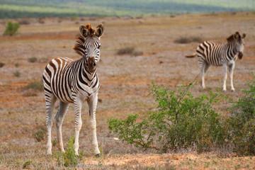 Zebra in der Savanne