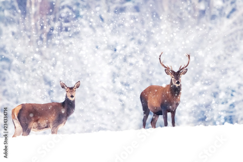 Beautiful male and female noble deer in the snowy white forest. Artistic Christmas winter image. Winter wonderland.