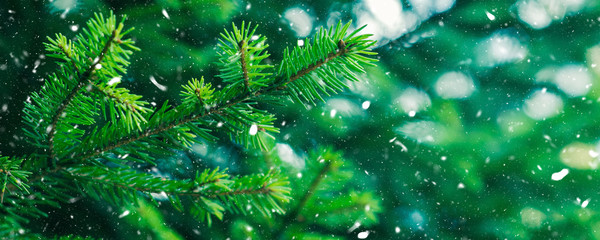 Green fir tree winter christmas background. Branches texture. Forest nature. Snow fall flakes